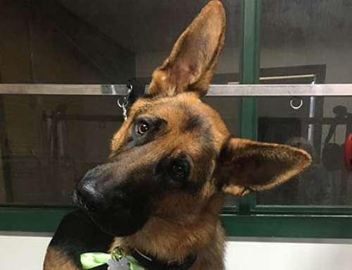 German Shepard Deshed: Dog Grooming Services – Boyd the German Shepard