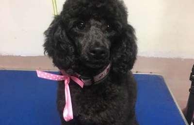 Frankie Toy Poodle (Poodle Clip)