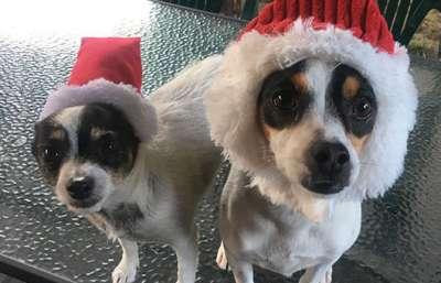 Christmas Dog Grooming Featured Groom December 2017